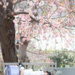 横須賀でも桜の撮影会、企画中〜♪