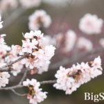 フラワーセンター、桜シーズンです^^